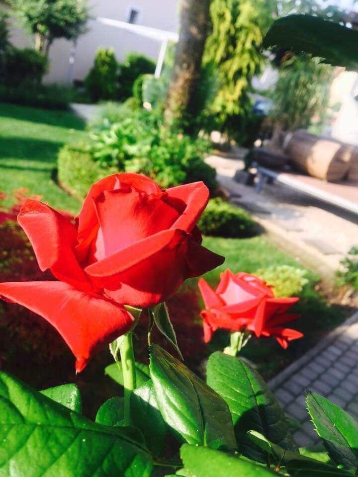 Keretner rózsa